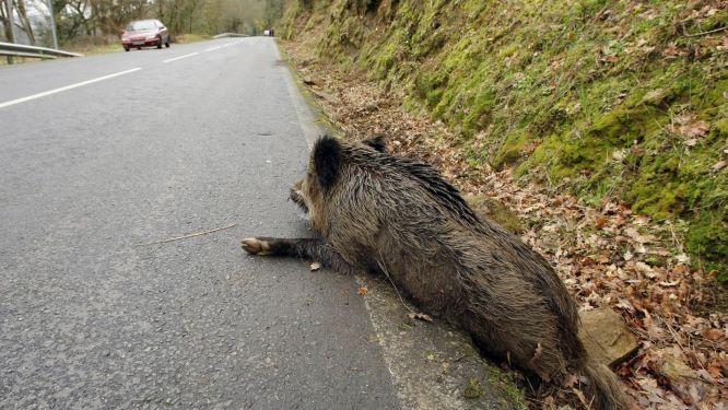 Cobertura de daños por impacto contra animales cinegéticos